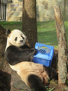 Panda in recline holding a blue milk crate