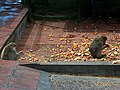 Gibraltar Barbary Macaques feeding.jpg