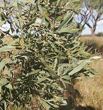 Acacia cambagei - Image: Gidgee foliage