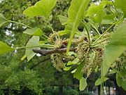Männliche Blütenstände des Ginkgo.