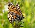 Glanville Fritillary Melitaea cinxia (30531432347).jpg