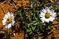 Glen Canyon area - more desert wildflowers - (19922815888).jpg