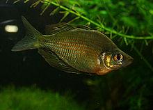 220px-Glossolepis_wanamensis.jpg