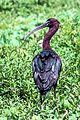 Glossy Ibis in Pashan Lake Pune.jpg