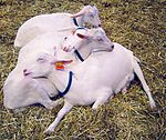 Goats sleeping DSC04008 crop color.jpg