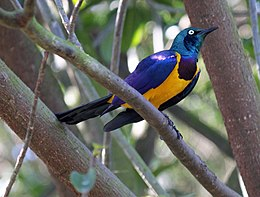 Golden-breasted Starling RWD.jpg
