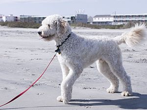 A male Goldendoodle (Golden Retriever/Poodle mix).