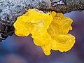 Goldgelber Zitterling-Tremella mesenterica stack32 -20191227-RM-152807.jpg