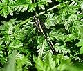 Gomphus vulgatissimus Irpin1.jpg