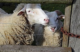 Good Easter, Essex, England - sheep on road to ford over River Can west of Good Easter village 04.JPG