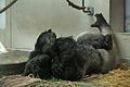 Gorilla gorilla gorilla at the Denver Zoo-2012 03 12 1017.jpg