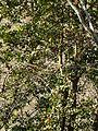 Grèvol entre la font dels Llops i el coll de Joan P1230919.JPG