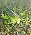 Grünes Heupferd Weibchen.jpg