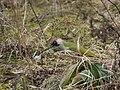 Grünspecht Picus viridis Weibchen-001.jpg