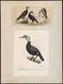Graculus carbo - 1700-1880 - Print - Iconographia Zoologica - Special Collections University of Amsterdam - UBA01 IZ18000073.tif