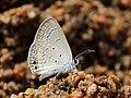 Gram blue from Savandurga IMG 9566.jpg