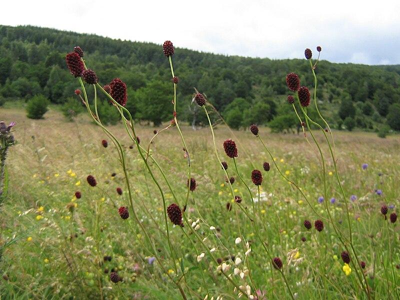 pimprenelle dans un champs