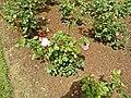 Grandiflora - Queen Elisabeth 6 (b).JPG