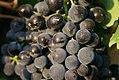 Grapes on the vine (close-up) (4054457666).jpg