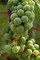 Grapes pre-veraison with example of malformed berries and speckles.jpg