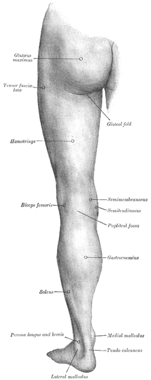 Hamstring - Posterior view of left lower extremity.