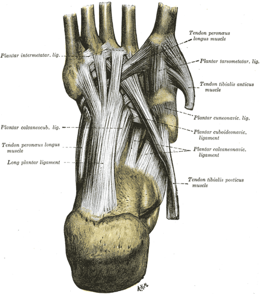 The plantar fascia is the long ligament running down the middle of the foot.