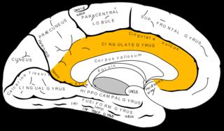 Cingulate cortex Part of the brain within the cerebral cortex