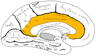 Isthmus of cingulate gyrus - Medial surface of left cerebral hemisphere. (Isthmus labeled at left center.)