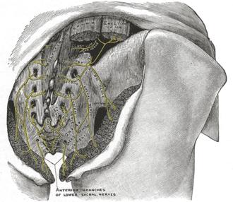 Multifidus muscle - Image: Gray 803