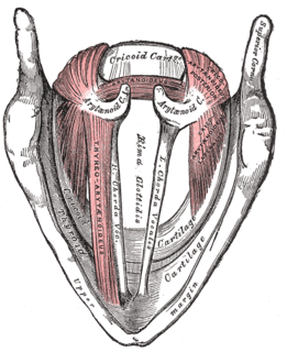 Rima glottidis Opening between the true vocal cords and the arytenoid cartilages of the larynx