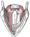 Muscles of the larynx, seen from above.