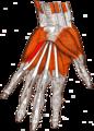 Gray — musculus flexor digiti minimi brevis.png