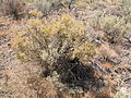 Grayia spinosa (3939367095).jpg