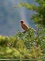 Great Rosefinch (Carpodacus rubicilla) (20185320541).jpg