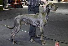 Great Dane - Wikipedia