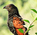Greater Coucal Centropus sinensis.jpg