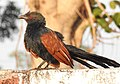 Greater Coucal Centropus sinensis by Dr. Raju Kasambe DSCN1356 (19).jpg