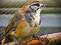 Greater Necklaced Laughingthrush at Seaview Wildlife Encounter.jpg