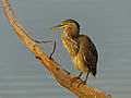 Green-backed Heron (Butorides striata) (11451566055).jpg