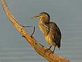 Green-backed Heron (Butorides striata) (11451566055).jpg