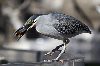 Green-backed heron, L'Oceanogràfic (2).jpg
