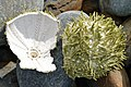 Green Sea Urchin (Strongylocentrotus droebachiensis) - Witless Bay, Newfoundland 2019-08-12.jpg