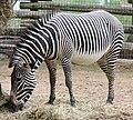 Grevy's Zebra 05489.jpg