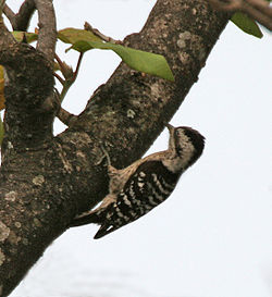 Grey-capped Pygmy Woodpecker (Dendrocopus canicapillus) at Jayanti, Duars, West Bengal W IMG 5275.jpg