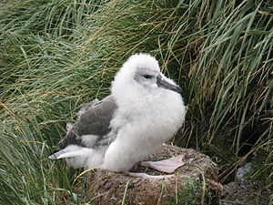Grey-headed albatross - Chick at nest