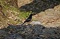 Grey-winged Blackbird Turdus boulboul male JEG8810.jpg