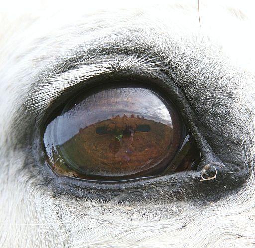 Grey horse eye