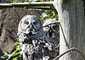Grey owls.jpg