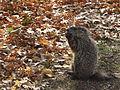 Groundhog, Homewood Cemetery, 2014-11-19.jpg