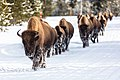 Group of bison on the road in winter (e129ac8f-8bc1-4111-826f-0c8d736d5e4d).jpg